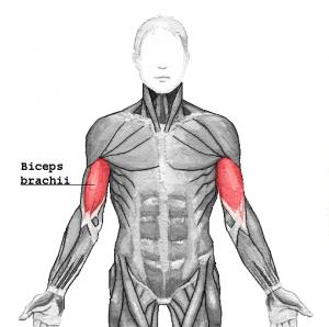 Biceps_brachii